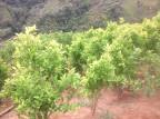 Honduras: spalono około 40 tysięcy krzewów koki