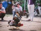 Indie: kogut wystawiony w zawodach zabił swojego właściciela