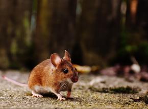 Australia: rekordowa plaga myszy