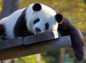 Międzynarodowy Dzień Pandy Wielkiej - co warto wiedzieć o tych niezwykłych niedźwiedziowatych?