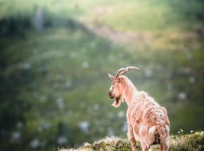 Portugalia: piorun zabił 68 kóz
