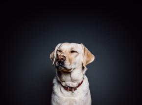 Czy psy są w stanie wyczuć wirusa SARS-CoV-2?