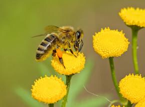 Australia: odnaleziono bardzo rzadki gatunek zielonej pszczoły
