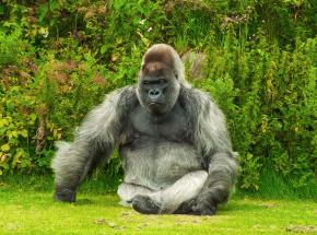 USA: stwierdzono obecność SARS-CoV-2 u goryli w zoo