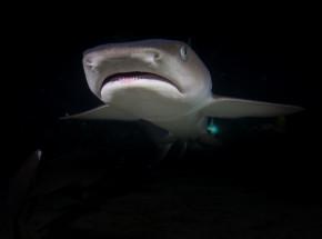 Nowa Zelandia: odkryto, że 3 gatunki rekinów świecą w ciemności