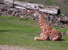 Nowo odkryte żyrafy karłowate