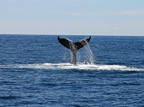"""""""52 herce"""" - najbardziej samotny wieloryb na świecie"""