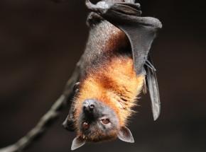Australia: ostrzeżenie w sprawie lyssawirusa u nietoperzy