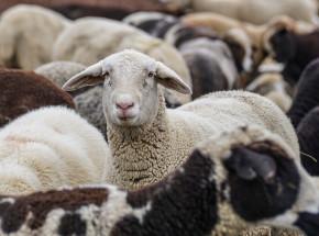Nowa Zelandia: zakaz eksportu zwierząt gospodarskich drogą morską