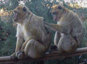 Niemcy: 24 makaki uciekły z zoo