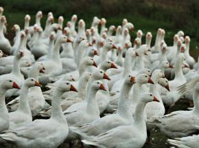 FAO wydało ostrzeżenie dla Afryki w związku z ptasią grypą