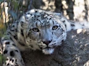 Chiny: przez 2 tygodnie ukrywano ucieczkę lampartów z parku safari