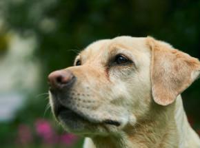 Psy mogą wykryć zakażenie SARS-CoV-2 z 94-proc. skutecznością