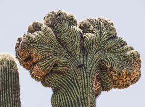 Dlaczego kaktusy potrafią przyjmować kształt mózgu?