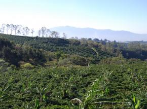 Miazga kawowa przyspiesza regenerację lasów tropikalnych