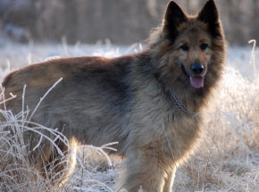 Wyszkolone psy wykrywają zakażenie SARS-CoV-2 w próbkach śliny ludzkiej