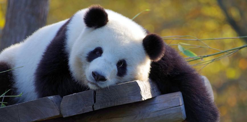 Francja: panda wielka urodziła bliźniaki