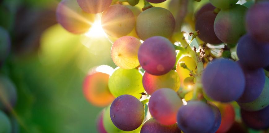 Japonia: cena kiści winogron wyniosła 50 tys. złotych