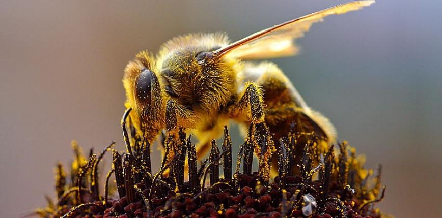 Od lat 90. XX wieku zniknęło 25% gatunków pszczół