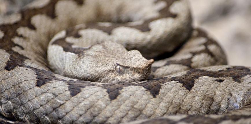 Austria: mężczyzna zmarł po ukąszeniu węża, którego hodował
