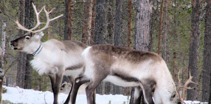 Norwegia: uznano, że turbiny wiatrowe zagrażają pasterzom reniferów