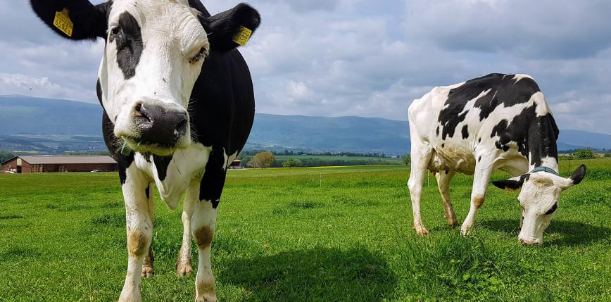 Krowy korzystające z toalety?