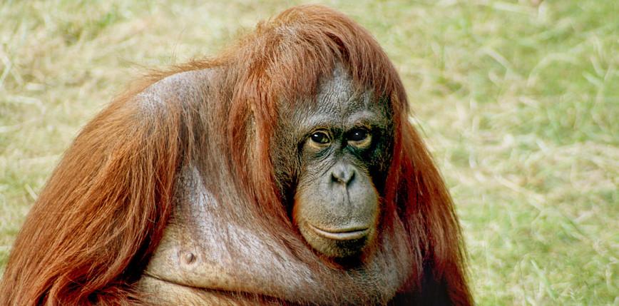 Nie żyje Inji - najstarszy orangutan na świecie