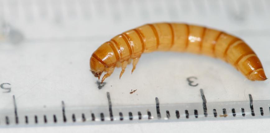 """Rada UE wpisała larwy mącznika do katalogu produktów """"nowej żywności"""""""