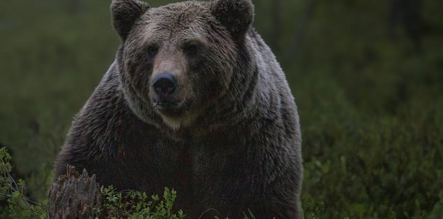 Rosja: niedźwiedź zabił 16-latka