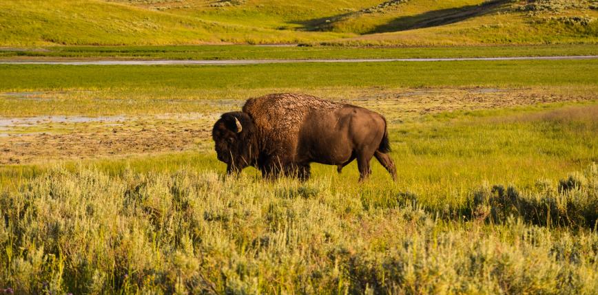 USA: 45 tysięcy osób zgłosiło się do programu mającego na celu zmniejszenie populacji bizonów