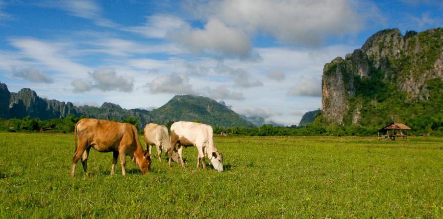 Chiny: zakaz importu bydła i wołowiny z Laosu z powodu choroby skóry