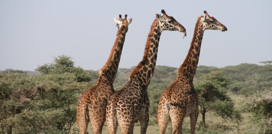 Kenia: trzy żyrafy zginęły wskutek porażenia prądem przez linie energetyczne