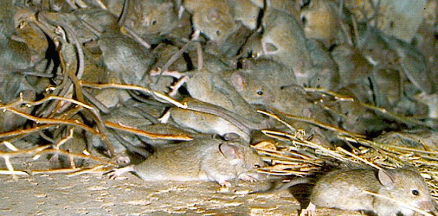 Australia: plaga myszy wymusiła przeniesienie tysięcy więźniów