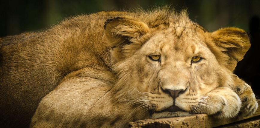 Kambodża: po interwencji premiera zwrócono lwa opiekunowi