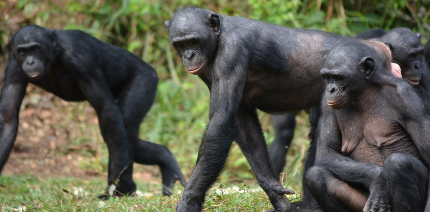 USA: dziewięć małp człekokształtnych zaszczepionych przeciwko COVID-19
