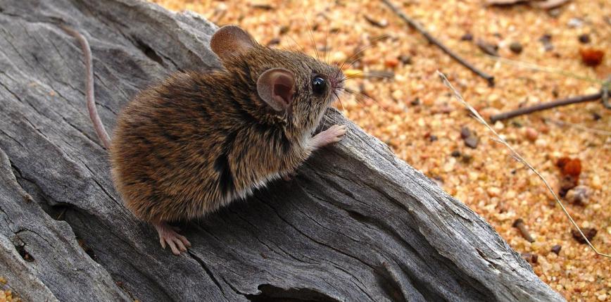 Odkryto istnienie gatunku myszy uznawanego za wymarły