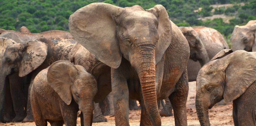 RPA: słonie stratowały kłusownika w Parku Narodowym Krugera