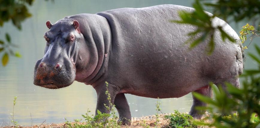 Uganda: hipopotamy zabiły 27 osób w ciągu ostatnich 2 miesięcy