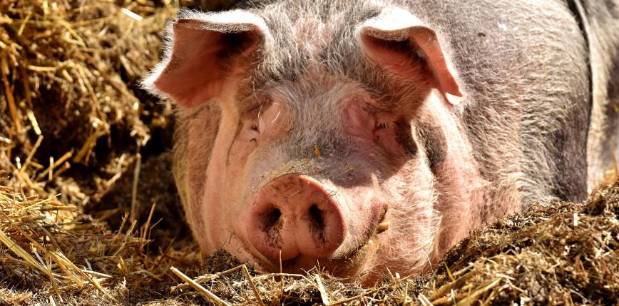 Niemcy: śledztwo w sprawie 250 padłych świń