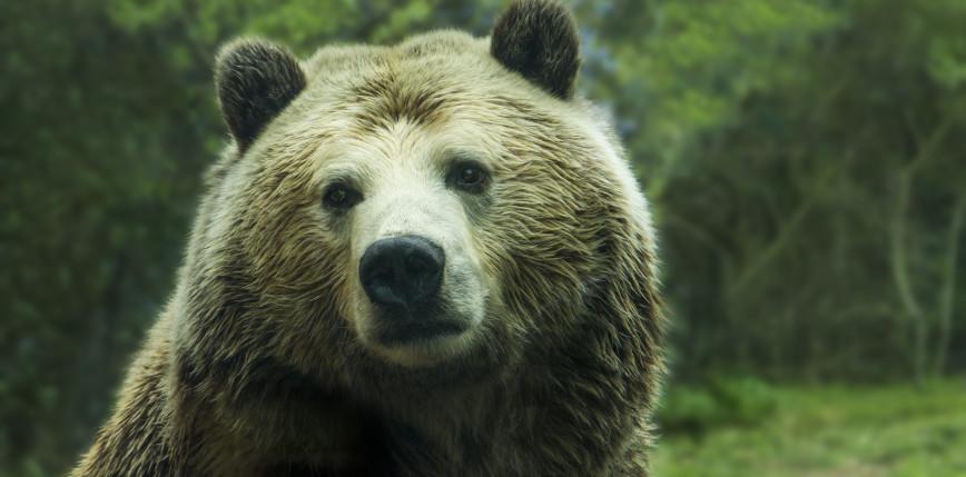 Montana: niedźwiedź zabił rowerzystę