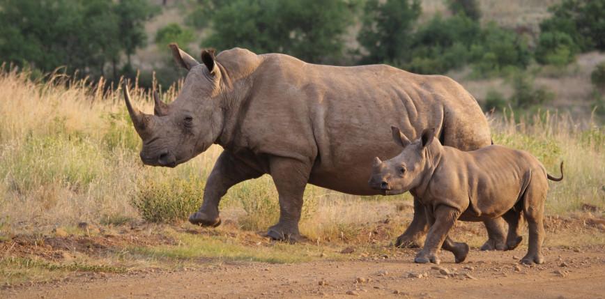 RPA: polowanie na nosorożce wzrosło o 50%