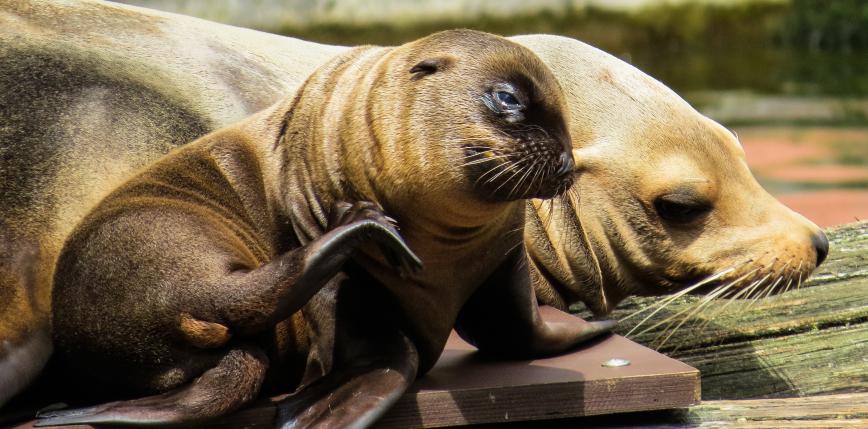 Nowa Zelandia: zamknięto jedną z najruchliwszych ulic z powodu gniazdowania lwów morskich