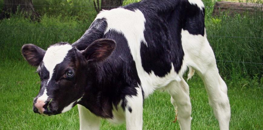 Wielka Brytania: krowa urodziła cielę, którego masa ciała wyniosła 105 kg
