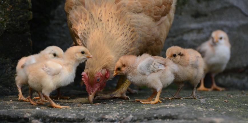 RPA: rozwój epidemii ptasiej grypy