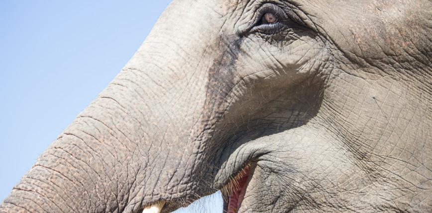 Triki stosowane przez słonie