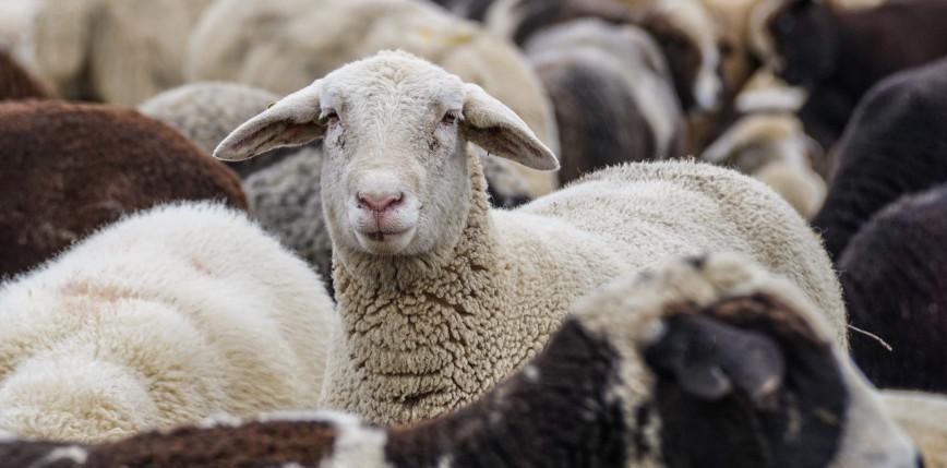 Nowa Zelandia: skazano rolnika, przez którego uśpiono 226 owiec