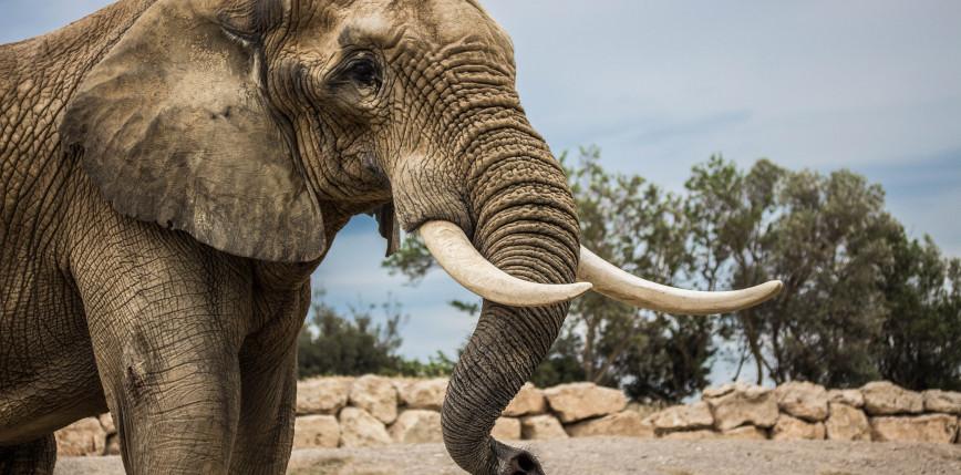 Hiszpania: słonica uderzeniem trąby zabiła pracownika parku przyrodniczego