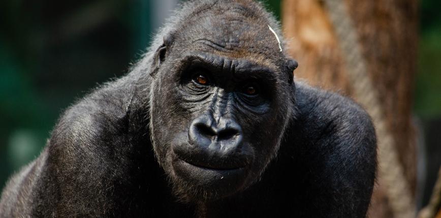 USA: szczepienie zwierząt w ogrodach zoologicznych