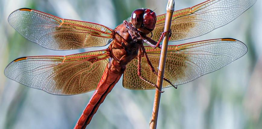 Funkcje owadzich skrzydeł sprzed 310 milionów lat
