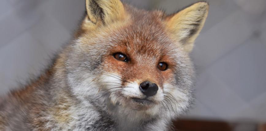 Wielkopolska: akt oskarżenia w sprawie fermy lisów